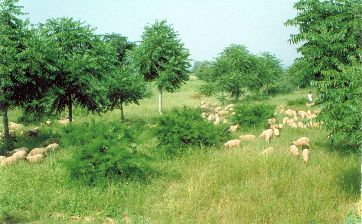Sheep grazing in three-tier silvi-pasture system