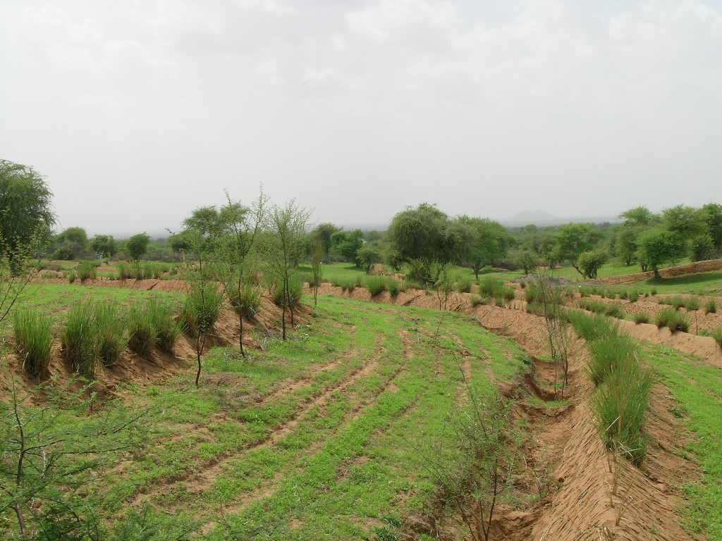 V-ditch contour bunding with panipula as vegetative barrier on sloppy land